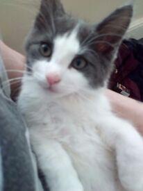 12 week female kitten