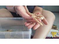 Golddust, Butter, Amel, Reverse Okeetee Corn snakes