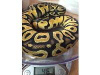 Male pastel Royal Python