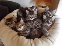 Beautiful fluffy Maine Coon kittens