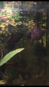 Axolotl for sale