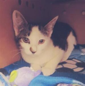 "Baby Male Cat - Domestic Short Hair: ""Padget 4"""