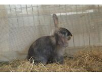 Three young female lop eared cross lionhead rabbits