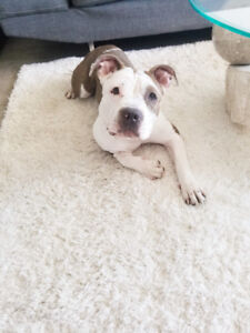 1 year old female pittbull needs a new good home
