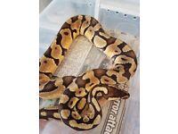 Royal python ( pastel.yellow bellt.het albino.)