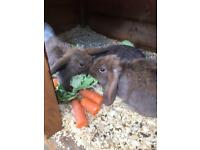 Baby giant lop rabbits