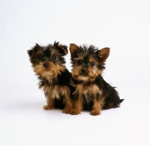Looking for 1 or 2 yorkie puppies :)