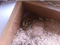 Corn snake and his house