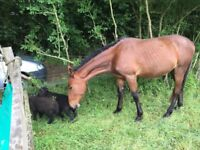 Horses/ponies for loan