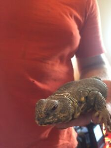 Tame Uromastyx Lizard (NO BUGS or RODENTS) for Sale