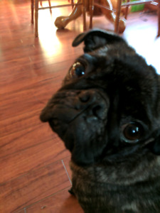 Female pug looking for a male pug