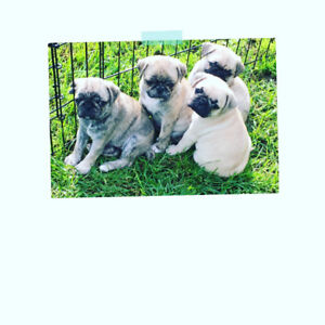 Adorable Bugg puppies for sale!!