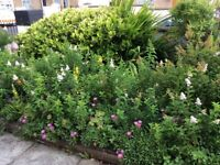 Free shrubs available due to garden being landscaped