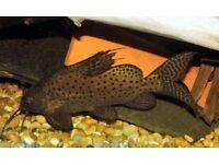 7 inch Synodontis Eupterus. (Featherfin Synodontis) Catfish