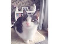 Female Russian Blue Cross Kitten