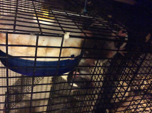 Domesticated Pet Fancy Rats for sale and Mice