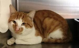 "Adult Male Cat - Domestic Short Hair: ""Howie"""