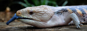In search of a Blue Tongue Skink