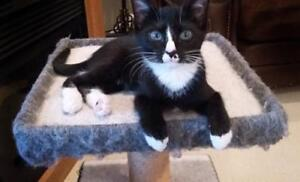 "Baby Male Cat - Tuxedo: ""Harry"""