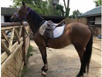 Horse / Pony Share - Part Loan - Liveried Great Bromley