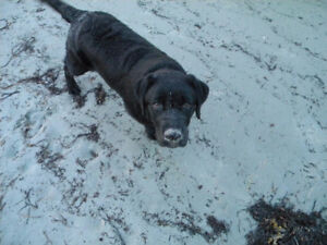 5 Year old Female Black Lab - Looking for a home