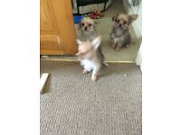 Chihuahua x yorkie pups ( chorkies) WEEKEND SPECIAL two remaining