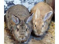2 Rabbits need a home