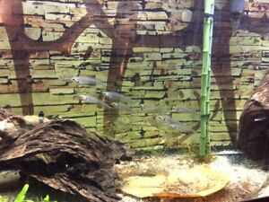 Glass cat fishes and glass fishes / Clown killifish