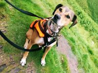Lurcher Cross in need of a new home