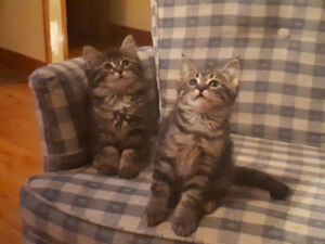 Cute Kittens Free to Good Home