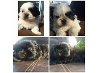 GORGEOUS KC REG SHIH TZU PUPPIES