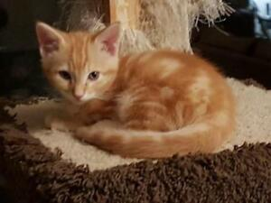 Young Male  - Domestic Short Hair-Domestic Long Hair (Orange)