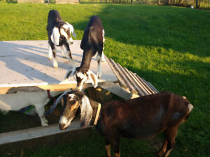 Assorted goat kids for sale