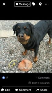 MISSING FEMALE ROTTWEILER