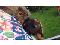 2 female guinea pigs with large hutch less than 12 months old