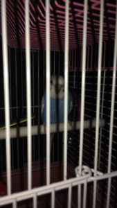 baby parakeet for sale