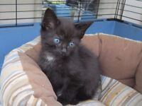 Black with white splash on chest boy kitten looking for loving home