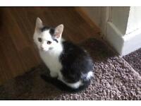 Kitten for sale (SOLD)