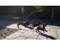 French bulldogs reduced first see will buy