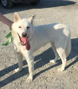 "Young Female Dog - Husky-White German Shepherd: ""Snow"""