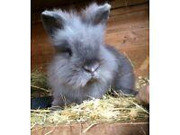 Bunny Lionhead