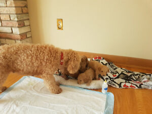 Toy poodle, white and light brown