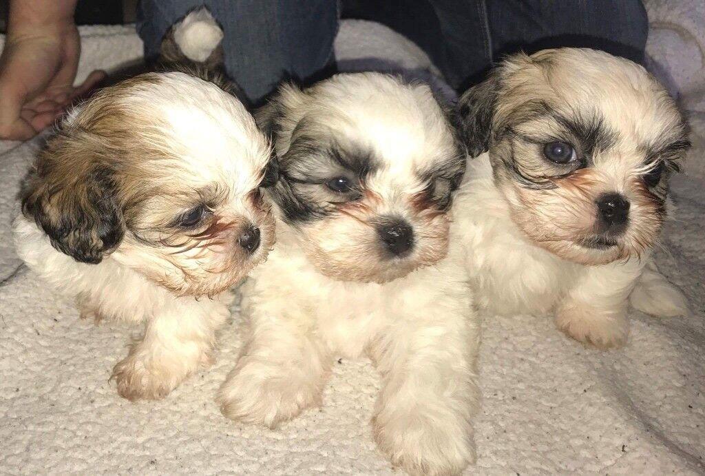 Maltese Shih Tzu Cross Puppies In Larkhall South Lanarkshire