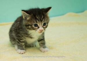 "Baby Male Cat - Domestic Short Hair: ""Mateo"""