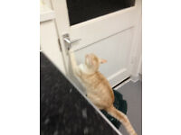 pale ginger and white cat £100