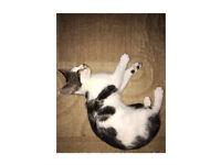 Female kitten LOZELLS