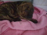 Staff puppy boy