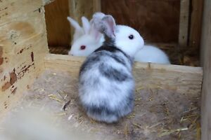 Rabbits for Sale! Need to go!
