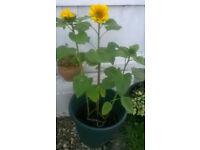 Sunflower ( Giant Yellow Variety)