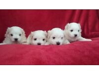 Beautiful Maltese Puppies (only 2 left)